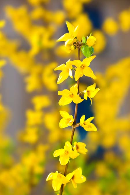Yellow four-petaled forsythia blooms, on a thin brown branch.