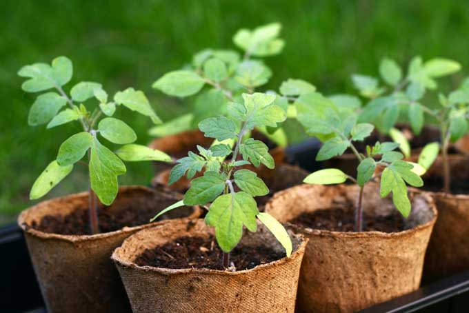 Tomato seedlings in cups | Gardenerspath.com