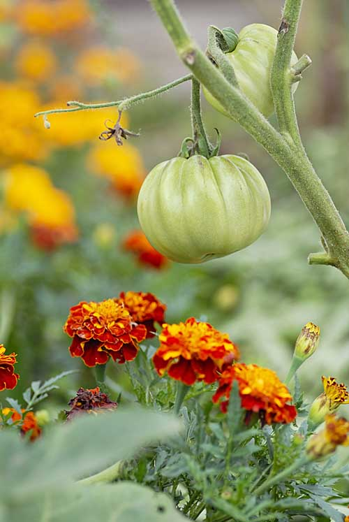 Tomatoes and marigolds are excellent for companion planting | Gardenerspath.com