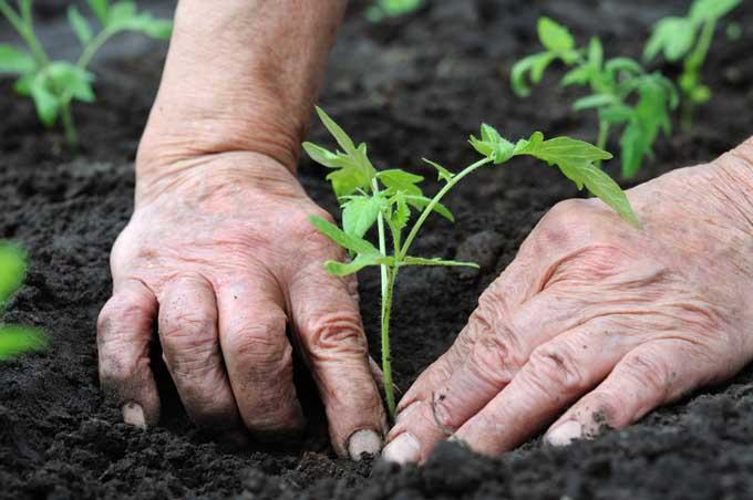 Transplanting tomato seedlings | Gardenerspath.com