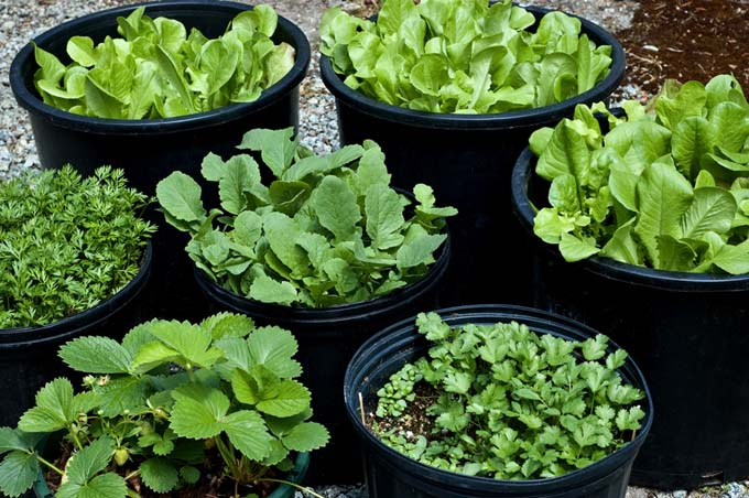 Use in ground buckets to stop the spread of various plants | GardenersPath.com