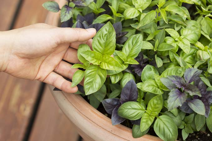 Basil has many different cultivars | Gardenerspath.com