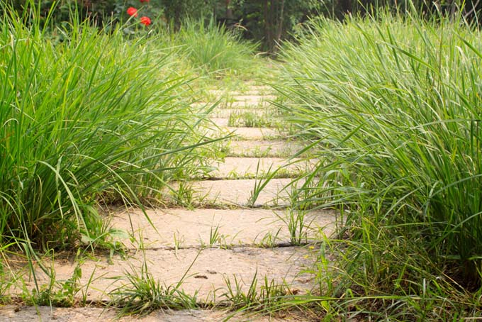 Tall grass grows to the sides of a paved pathway, with more blades of grass emerging from the cracks in the path.
