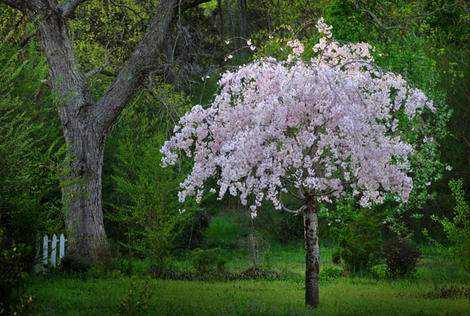 A small, pale pink weeping cherry in bloom, with green grass and various shrubs and trees in the background.