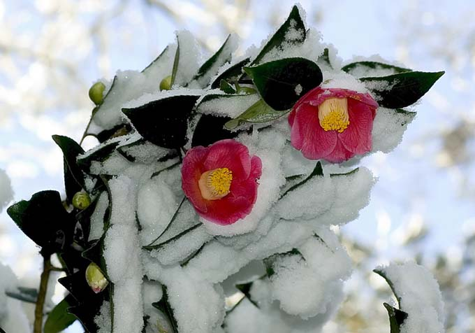 Pink 'Winter Star' camellias, caked with snow.