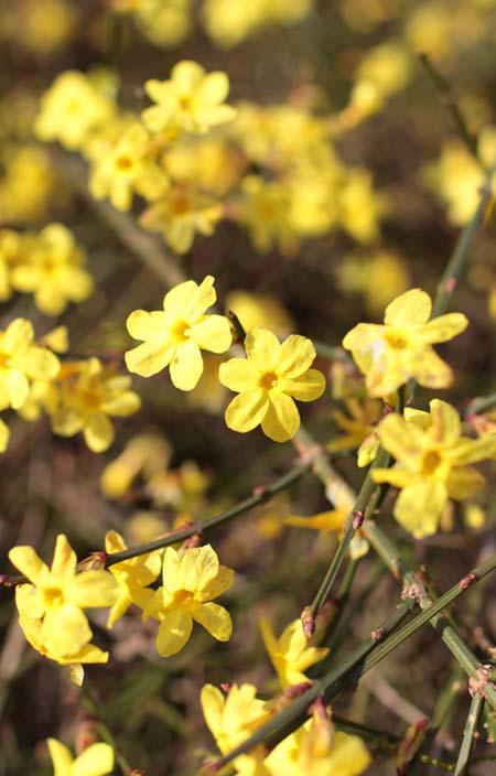 Six-petaled yellow winter jasmine.