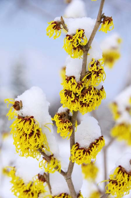 Witch Hazel in Winter | GardenersPath.com