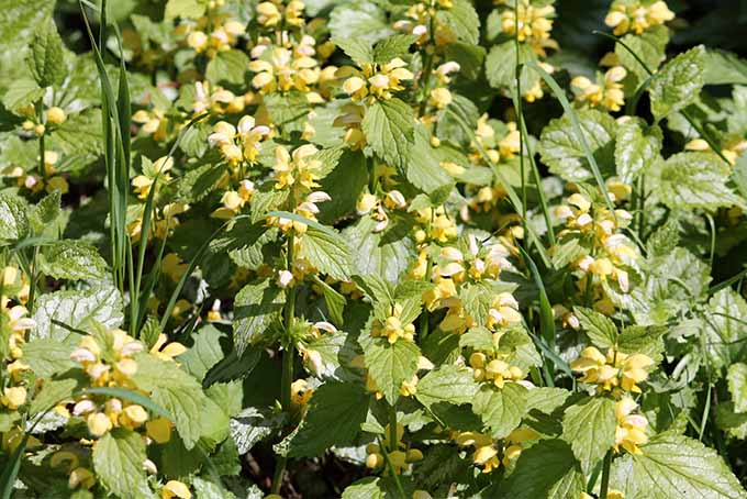 A close up of yellow archangel plant with green leaves and serrated edges displaying small yellow flowers, pictured on a sunny day.