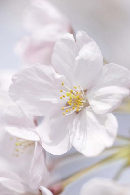 Closeup of a pale pink 'Yoshino' cherry blossom, with yellow pollen on white anthers.