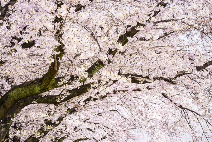 Yoshino cherry tree in bloom, covered in blossoms in a shade of very pale pastel pink.