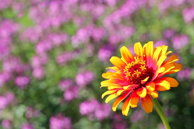 'Zowie Yellow Flame' zinnia, with orange and red petals.