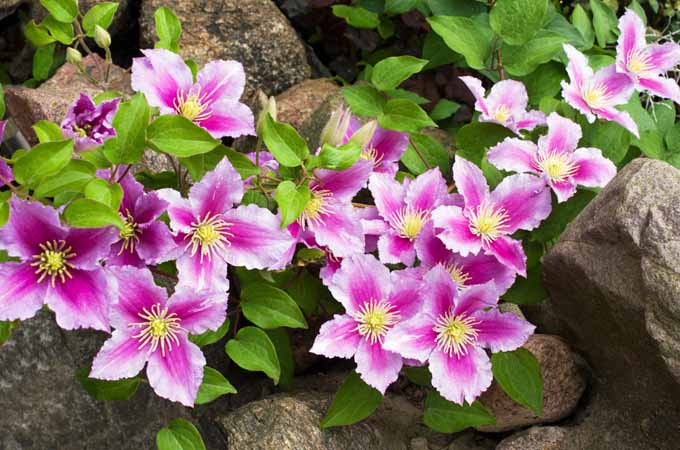 Growing Flowering Vines in the Garden | Gardenerspath.com