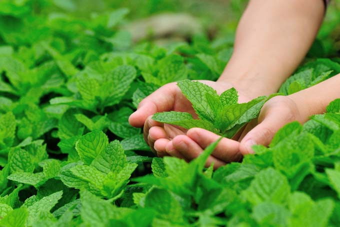 Mint in the garden | GardnersPath.com