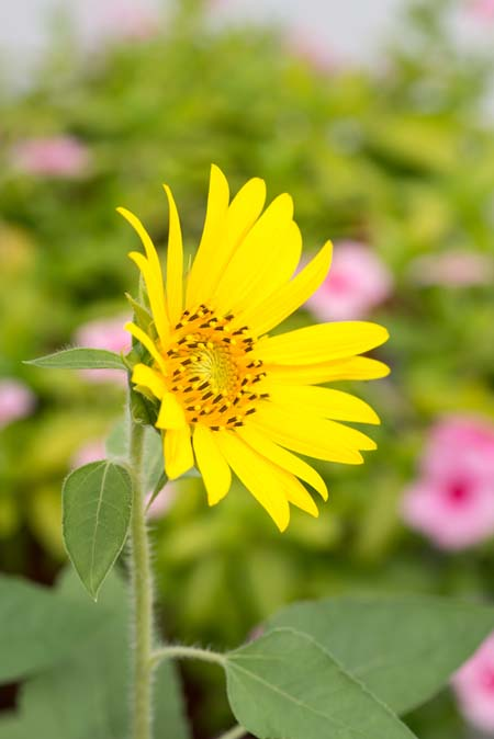 A perennial sunflower, with yellow petals, teardrop-shaped leaves, and a fuzzy stem.