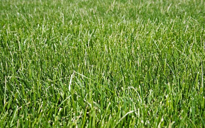 A close up of a lawn of fescue grass that remains short and reduces lawn maintenance.