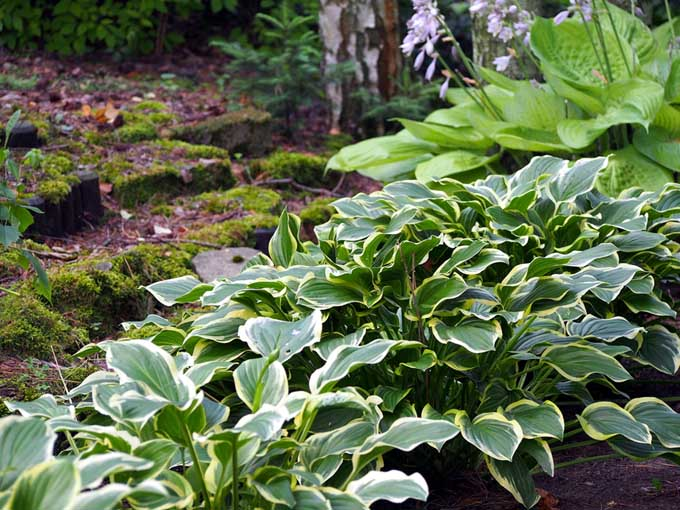 A close up of green and white variegated hostas growing in a shady location in the garden, with moss and trees in the background.