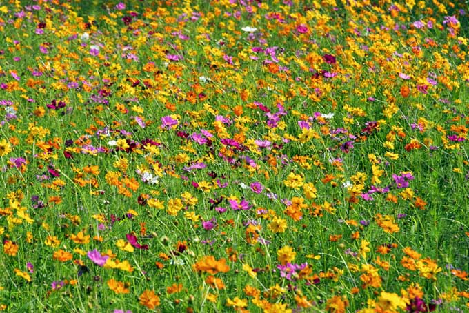 A close up of a wildflower garden, with different colored tiny flowers growing in place of a lawn.