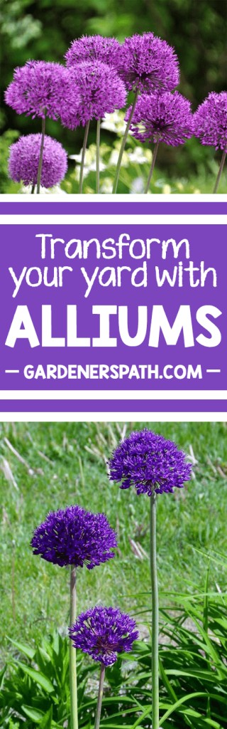 A collage of photos showing different colors and varieties of allium flowers.