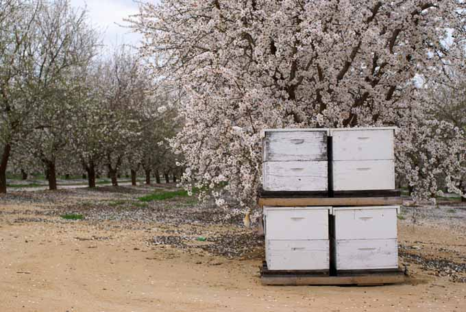 Bee Hives Stacked in a Almond Orchard | Gardenerspath.com