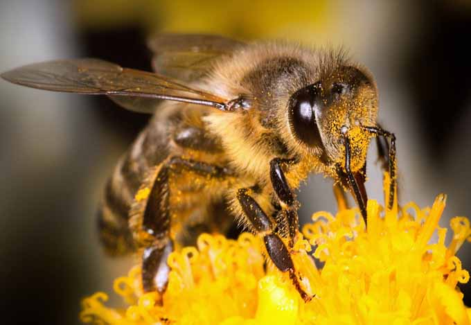 Honey bees are the world's most productive pollinators | Gardenerspath.com