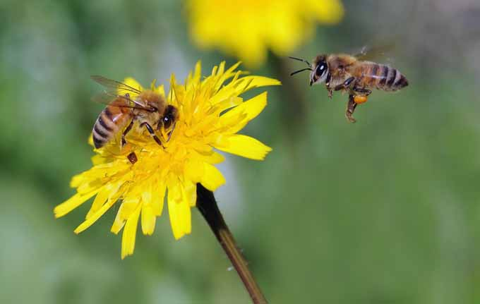 A close up of two bees and a yellow dandelion, pictured on a soft focus background.