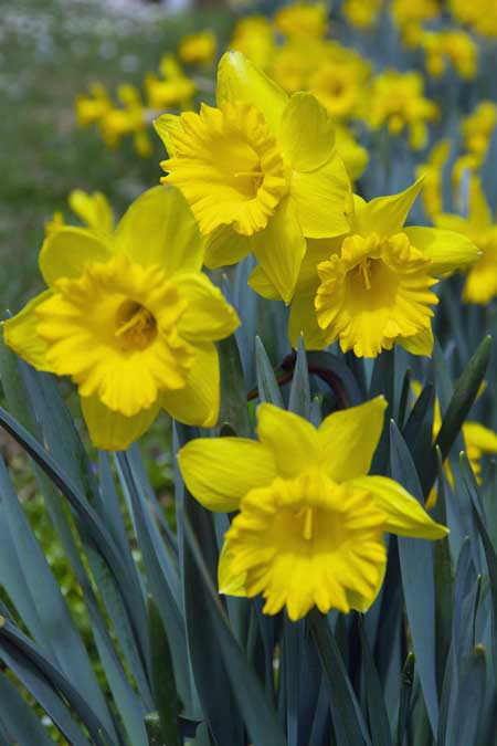 A close up vertical picture of bright yellow daffodils growing in the garden in the sunshine.