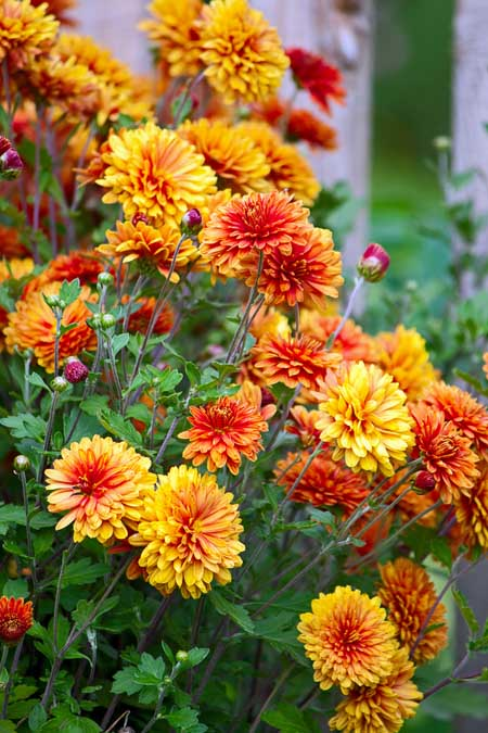 Colorful Chrysanthemums | Gardenerspath.com