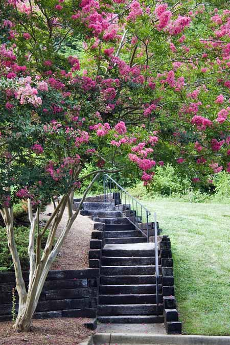 A vertical picture of steps leading through a garden, flanked with flowering crepe myrtle to the left of the frame.