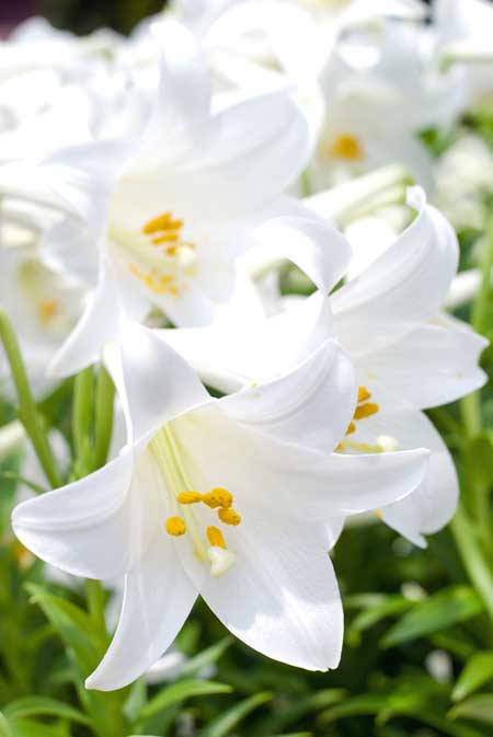 A close up of the trumpet shaped flowers of white Easter lily, pictured in bright sunshine on a soft focus background.