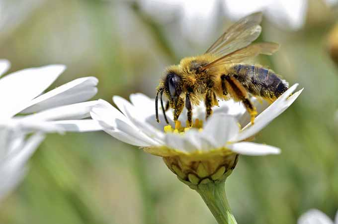 European Honey Bee (Apis) | Gardenerspath.com