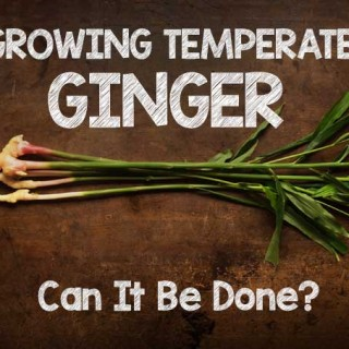 Growing Temperate Ginger: Can It Be Done?