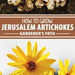A collage of photos showing both the roots and flowers of the Jerusalem Artichoke.