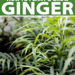 Lush green ginger plants in growing in dappled sunlight.