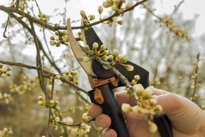 A close up of a hand from the right of the frame pruning the branch of a shrub with a pair of garden pruners.
