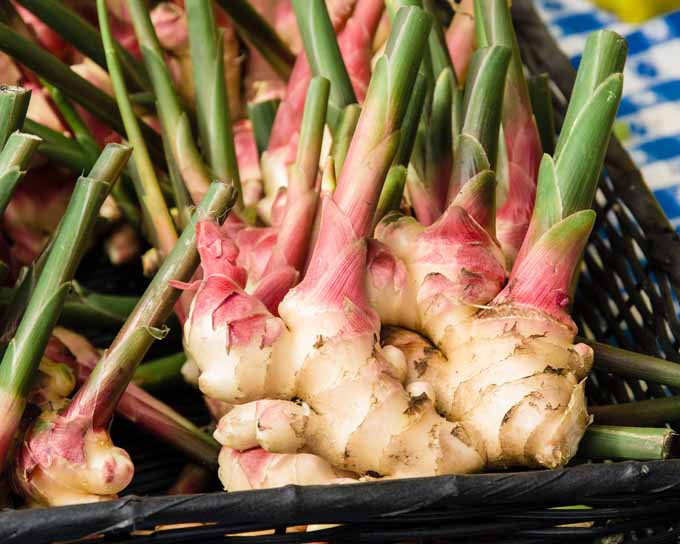 Propagating your own ginger | Gardenerspath.com
