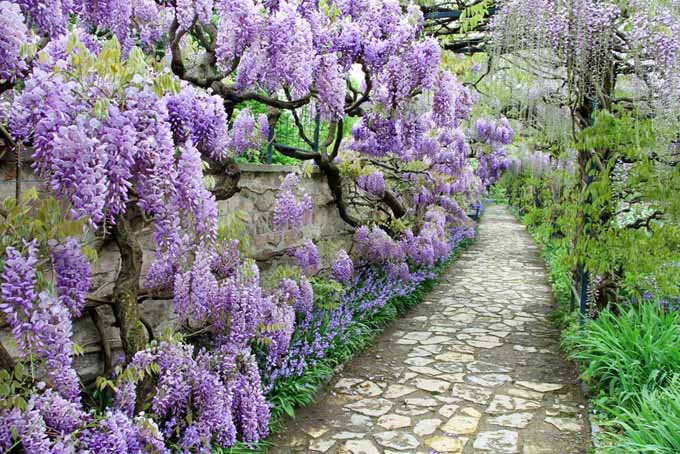 A stone garden path flanked with purple wisteria to the left and perennial shrubs to the right.
