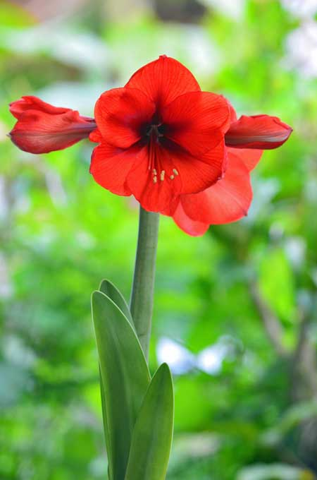 A close up vertical picture of a red amaryllis flower, pictured on a soft focus background.