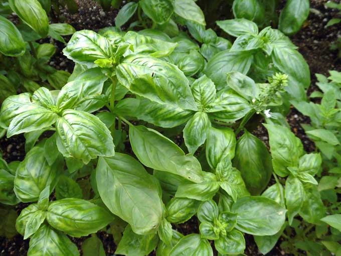 A close up of sweet basil growing in the garden with bright green leaves, and soil in soft focus in the background.