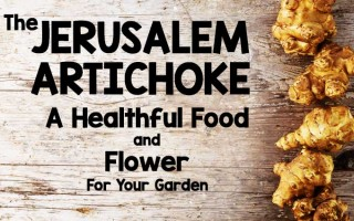 The Jerusalem Artichoke: A Healthful Food and Flower for Your Garden
