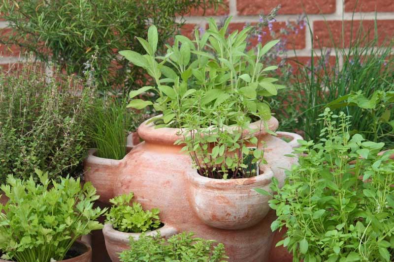 Different kinds of Mediterranean herbs in terracotta pots.