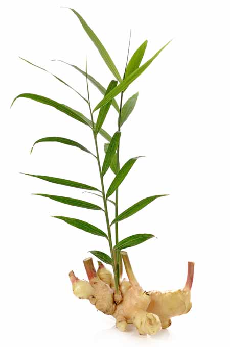 Transplant Ginger Seasonally | Gardenerspath.com