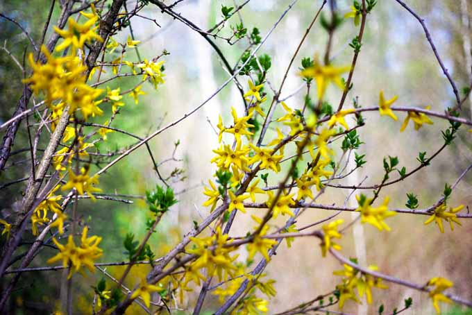 A close up of the branches of a forsythia with small yellow flowers blooming in early spring, pictured on a soft focus background.
