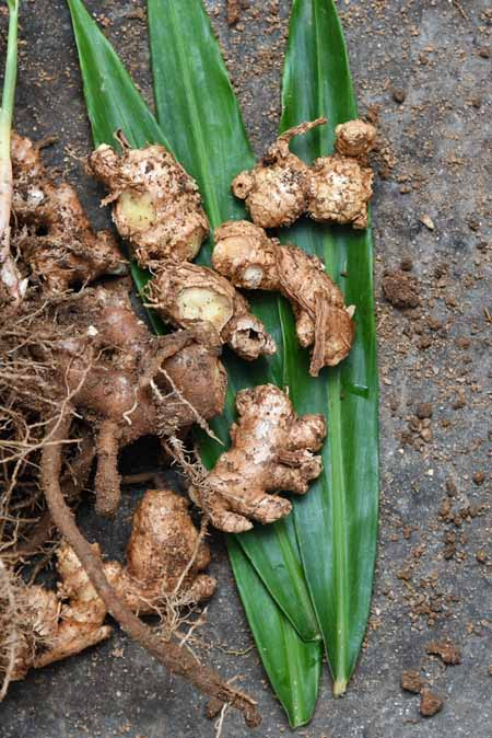 Chunks of ginger root with soil still attached.