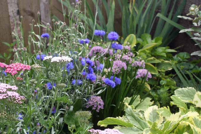 Achillea, Corn Flower, and Allium | Gardenerspath.com