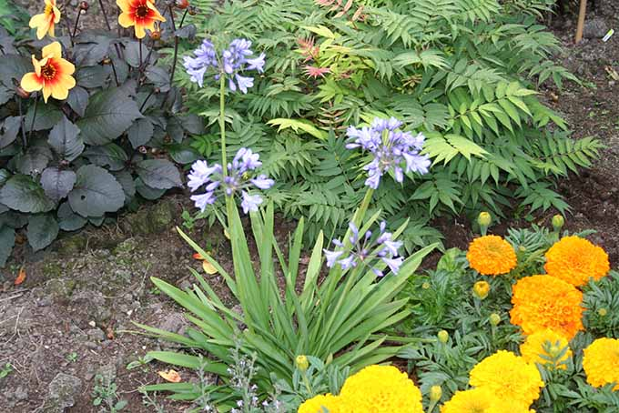 A garden scene with Agapanthus 'Lilliput' and its delicate lilac flowers growing among other flowers and ornamental shrubs.
