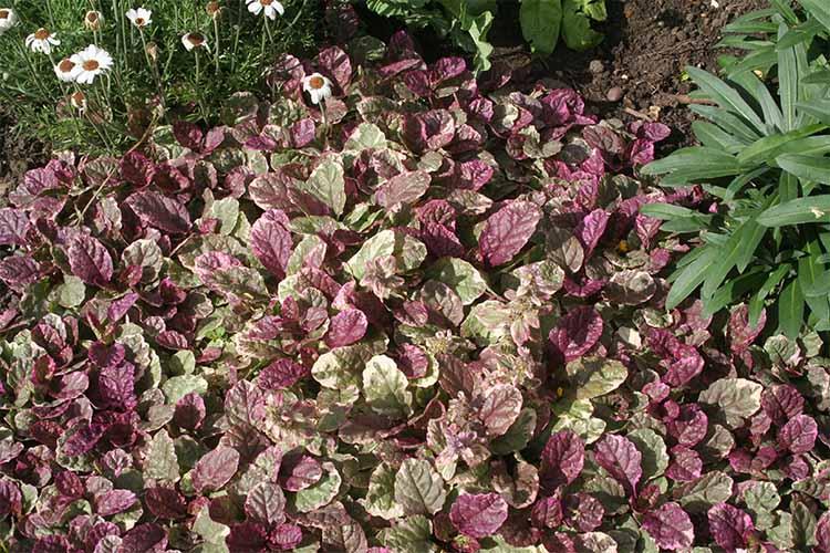 Ajuga | Gardenerspath.com