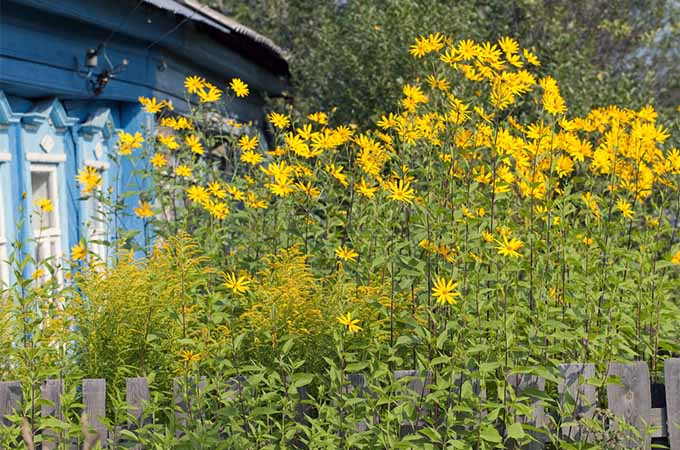 A large stand of sunchokes blooming with bright yellow flowers outside a blue house on a sunny day.