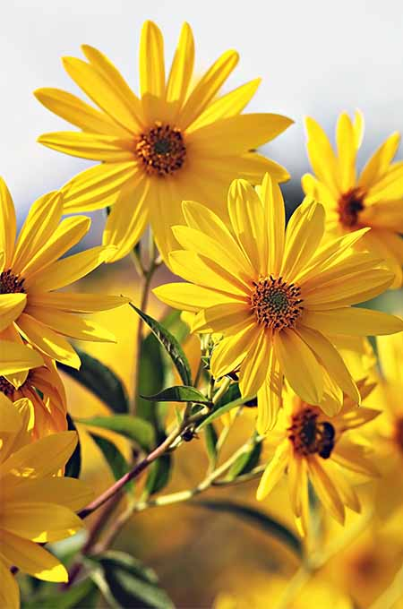 A vertical close up of bright yellow flowers pictured in bright sunshine on a soft focus background.