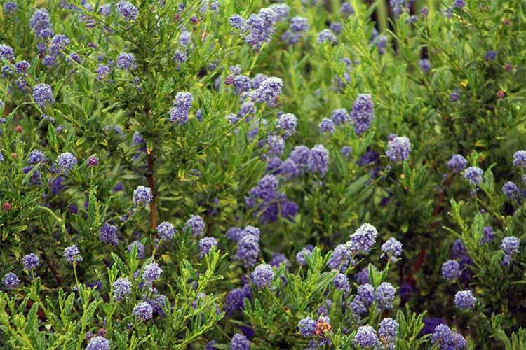 Ceanothus | Gardenerspath.com