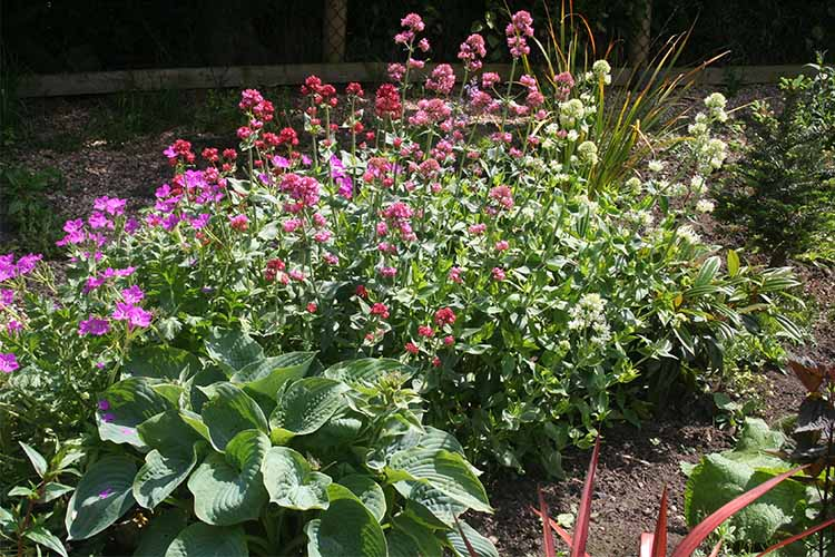 Centranthus and Hosta | Gardenerspath.com
